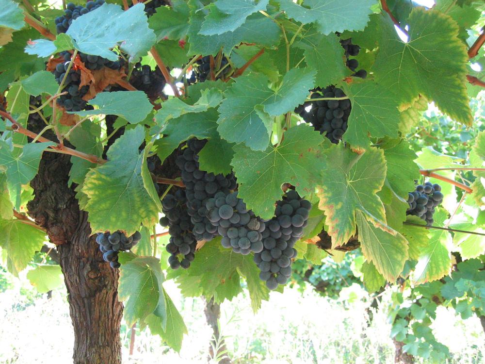 Domaine de Barthe Grenache grapes