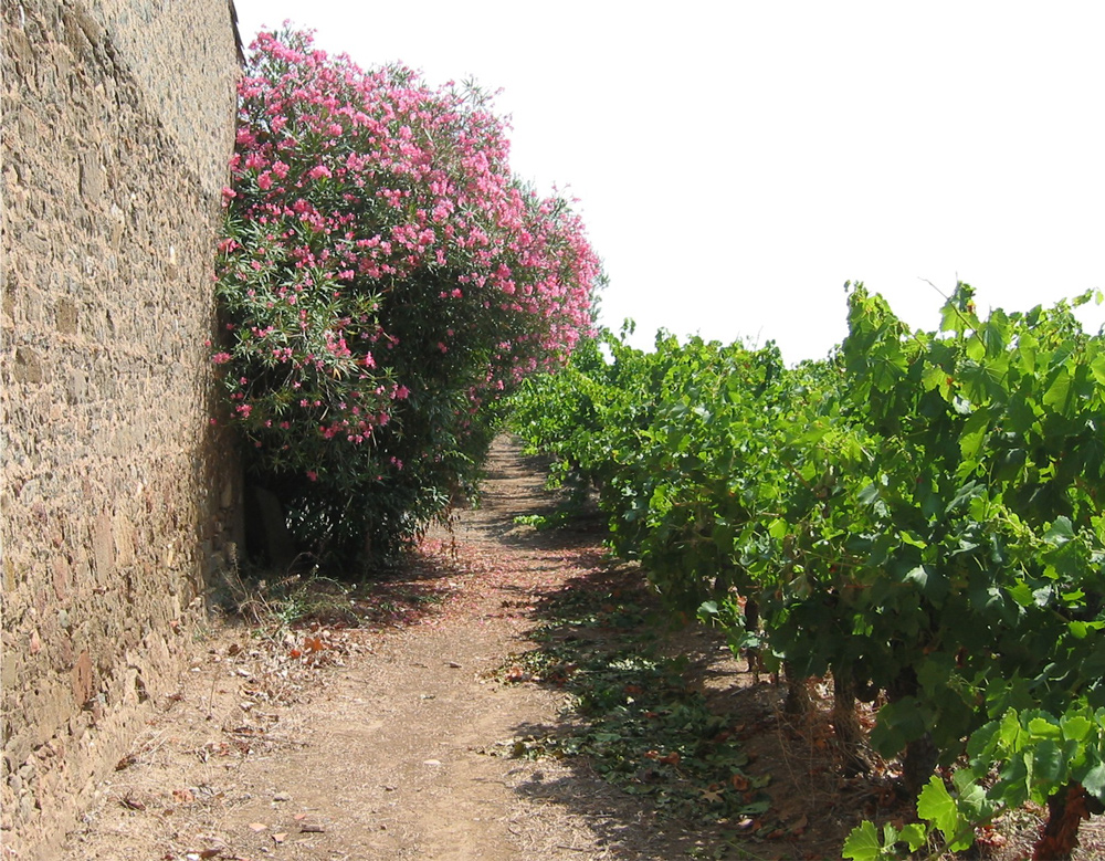 Flowering Oleander at Domaine de Barthe